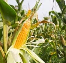 syngenta-corn-remanded